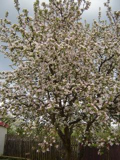 FOTKA - kvetoucí jablonˇ