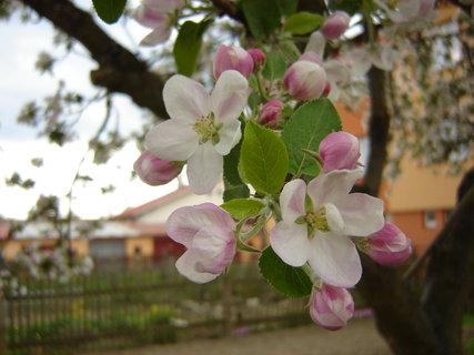 FOTKA - kvetoucí jablonˇ.