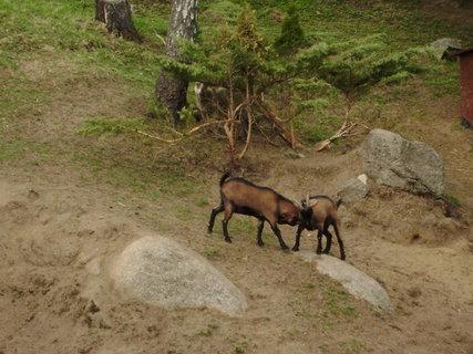 FOTKA - kozy ve výběhu