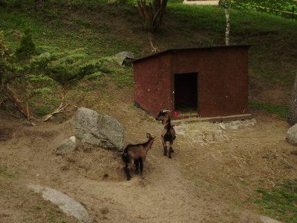 FOTKA - kozy ve výběhu 2