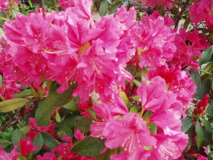 FOTKA - Rododendron - květ .