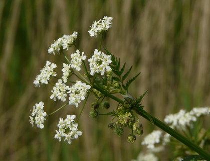 FOTKA - bily plevel