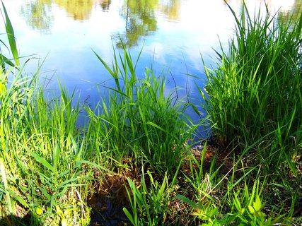 FOTKA - květen, Šeberovský rybník - tráva u břehu..