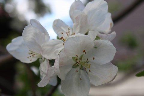 FOTKA - Květy jabloně VIII.