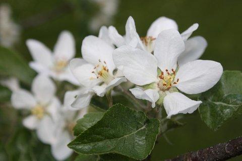 FOTKA - Květy jabloně IX.