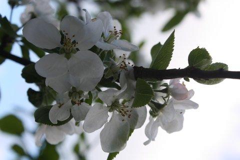 FOTKA - Květy jabloně X.