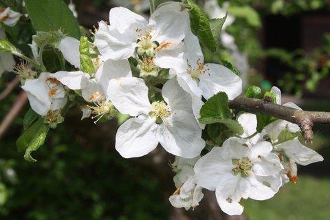 FOTKA - Květy jabloně XII.