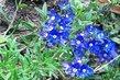 Moje skalka..modrá květinka