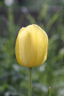 FOTKA - Tulipány XXXXXVIII.