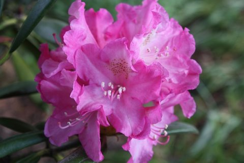 FOTKA - Rododendron II.
