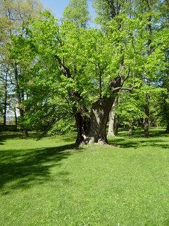 FOTKA - starý strom
