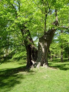 FOTKA - starý strom 2
