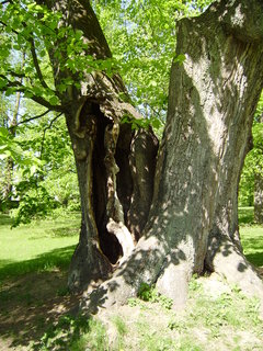 FOTKA - starý strom 3