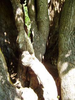 FOTKA - starý strom 4