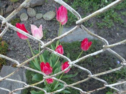 FOTKA - Konstantin. Lázně..tulipánky