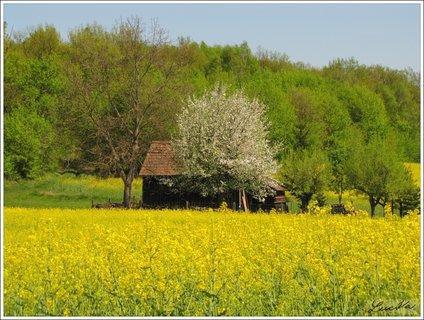 FOTKA - Jarní zátiší s řepkou