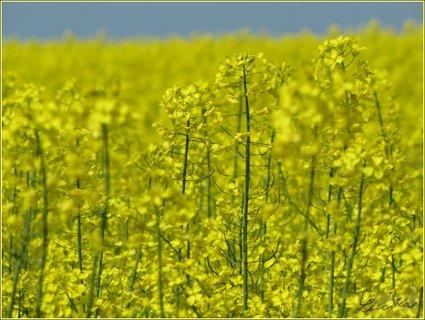 FOTKA - Detaily z řepkového pole