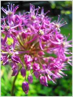 FOTKA - Kvetoucí česnek - makro