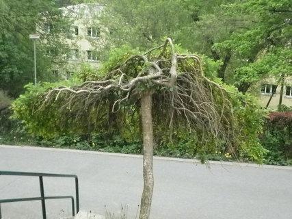 FOTKA - Strom v Luhačovicích