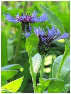 FOTKA - Dvě modré chrpy