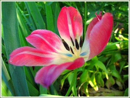 FOTKA - Široce rozevřený tulipán