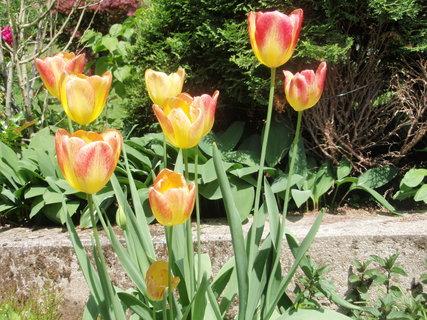 FOTKA - červeno žluté tulipány