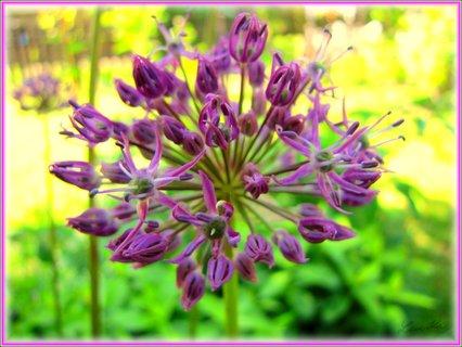FOTKA - Makro okrasného kvetoucího česneku