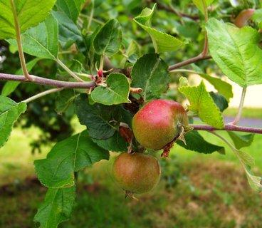 FOTKA - procházka 3.6.2012, budou jablíčka...