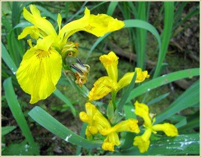 FOTKA - Žluté kosatce
