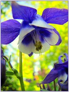 FOTKA - Modrobílý květ orlíčku