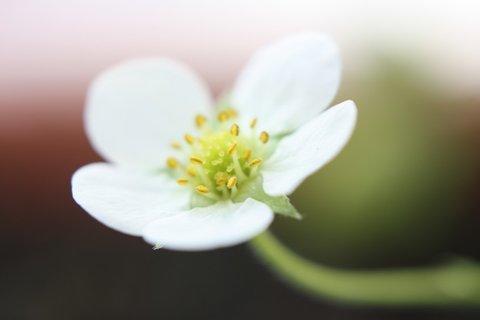 FOTKA - Květ jahodníku IV.