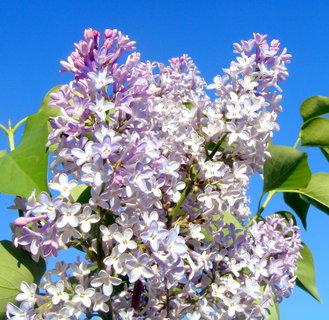 FOTKA - Šeřík fialový