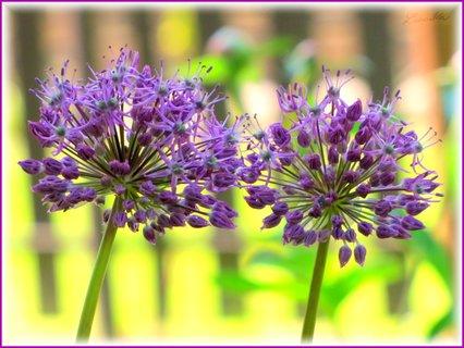 FOTKA - Dva rozkvetlé okrasné česneky