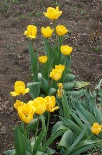 FOTKA - Žluté tulipány na zahrádce
