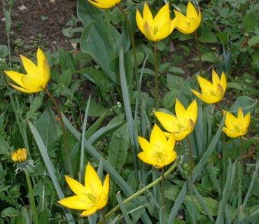 FOTKA - Žluté minitulipánky