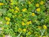 žlutá kvítka rozlezlého plevele