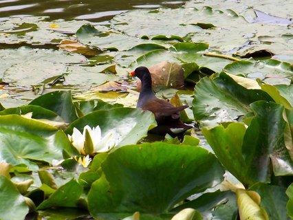 FOTKA - včerejší procházka k rybníku s bratrancem a dětmi, potápka v leknínech