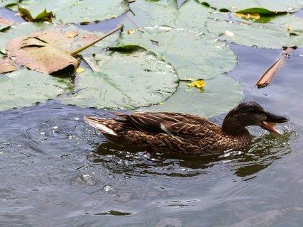 FOTKA - krmení na rybníce Ohrada, díkýýý