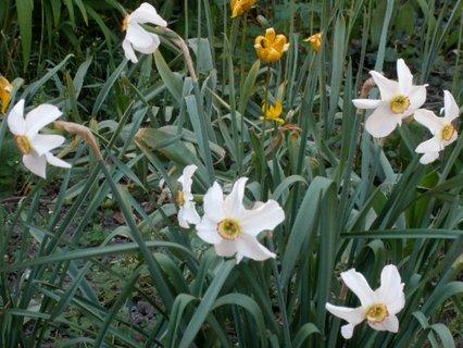 FOTKA - Narcisky na zahradě