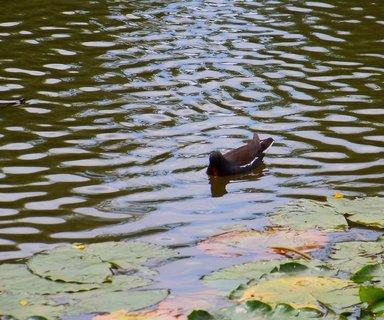 FOTKA - taková malá hádanka, kdo vidí na rybníku želvičku?