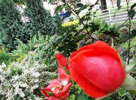 FOTKA - Růže v mé džungli