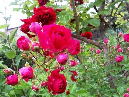 FOTKA - Růže...14.6.