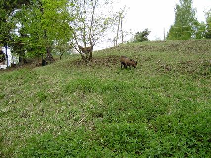 FOTKA - kozy ve výběhu 3