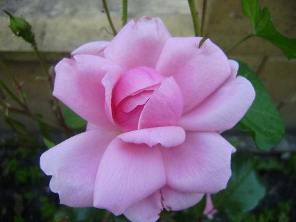FOTKA - růže,,,,