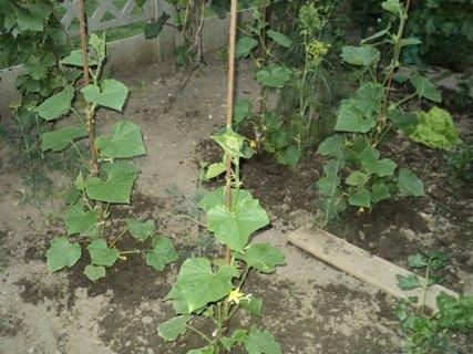 FOTKA - uhorky sa črtajú