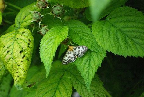 FOTKA - motylek na malinach