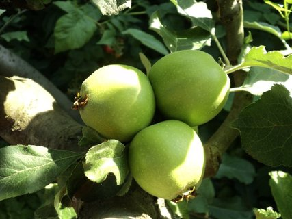 FOTKA - jabĺčka