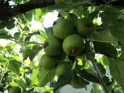 FOTKA - a ešte raz jabĺčka
