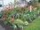 zahrada,tulipánový záhon
