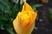 tulipán 40